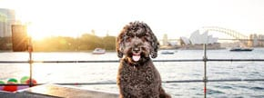 Calling all Sydney dogs – do you want to appear in an opera?