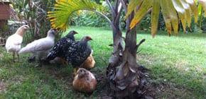 Samoan chickens